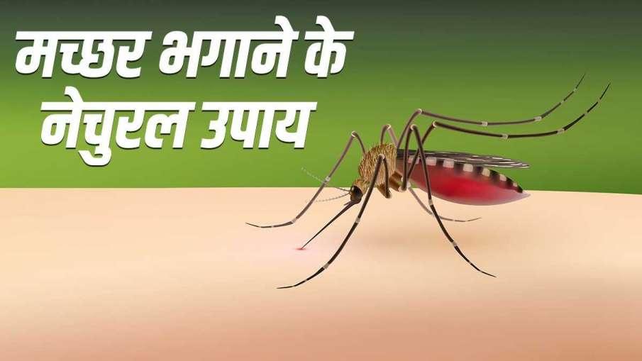 मच्छरों को घर से भगाने के लिए आजमाएं ये घरेलू उपाय- India TV Hindi