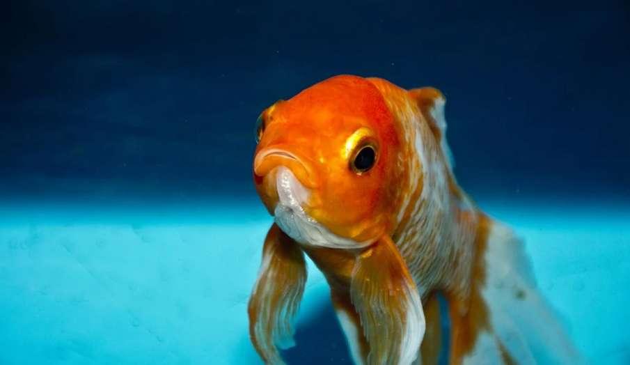 सुनहरी मछली- India TV Hindi