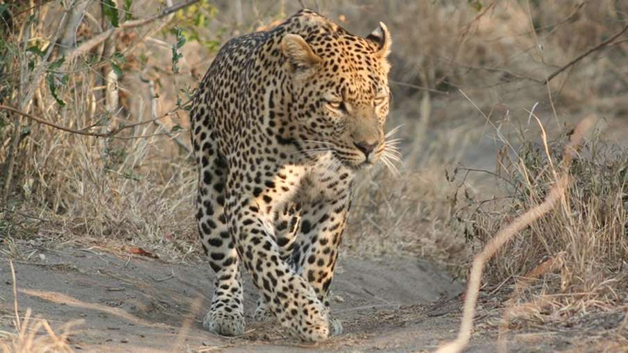 Madhya Pradesh, Madhya Pradesh Leopard, Leopard Mauls Woman To Death- India TV Hindi