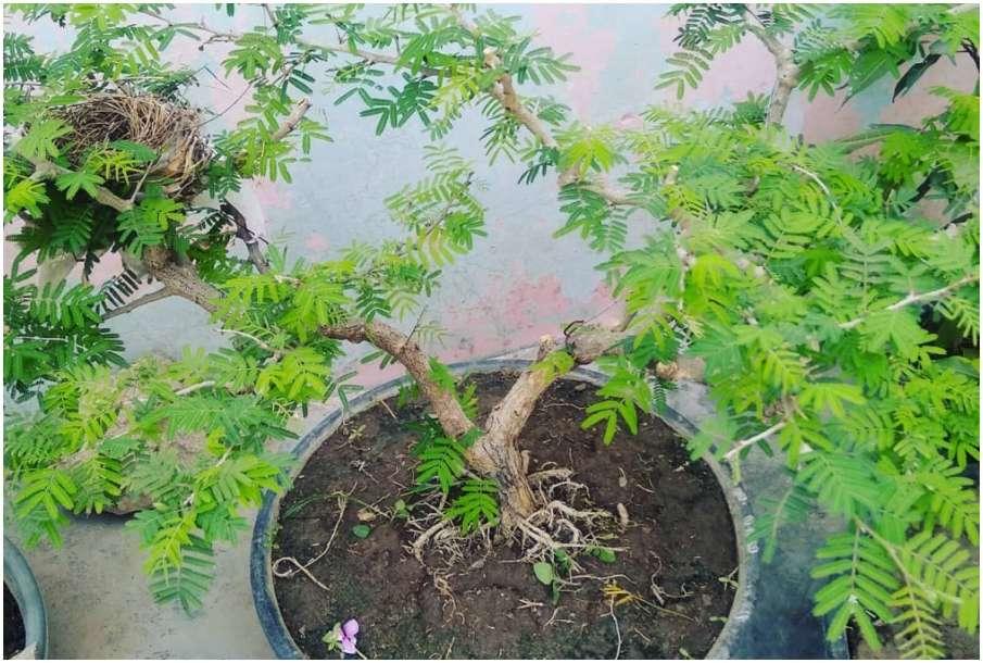 Shami Plant- India TV Hindi