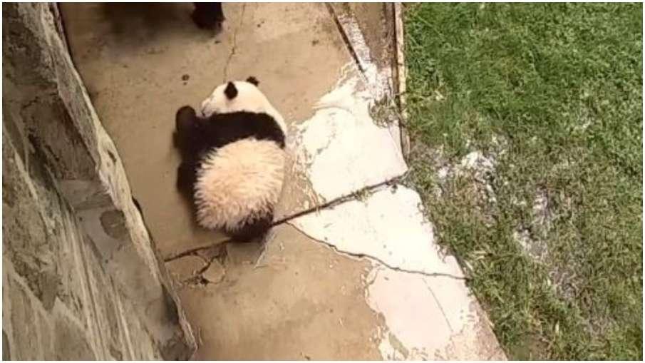baby panda- India TV Hindi